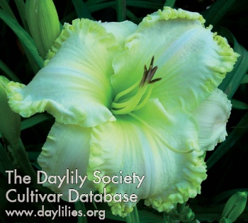 Daylily Photo - It's A Dream