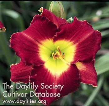 Daylily Photo - Jay Turman