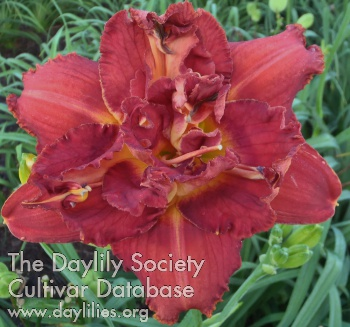 Daylily Photo - Jazzy Tune