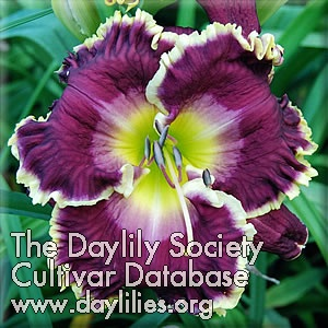 Daylily Photo - Jeanne Deaver's Dream