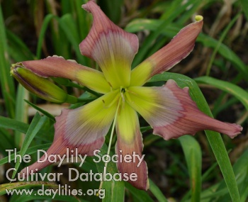 Daylily Photo - Jewel Of Jupiter