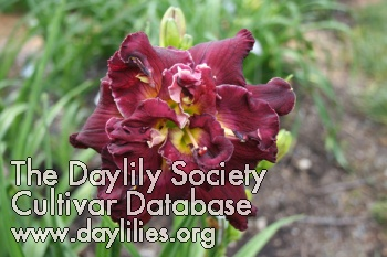 Daylily Photo - Joan Jackson