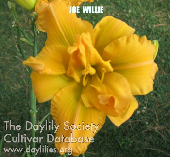 Daylily Photo - Joe Willie