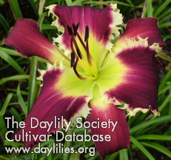 Daylily Photo - Johnny Bear