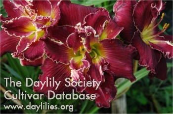 Daylily Photo - Joseph Hudson Memorial