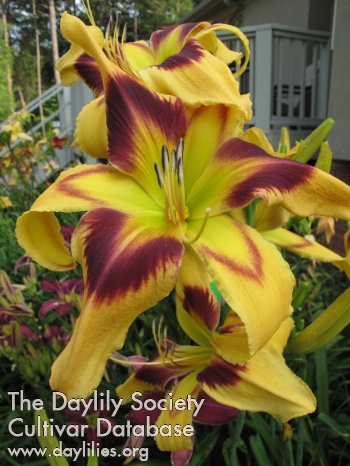 Daylily Photo - Judge Judy