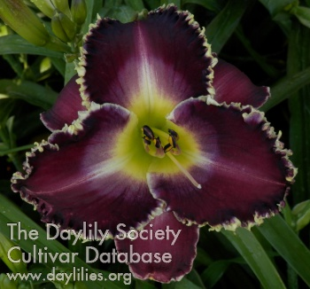 Daylily Photo - Kings and Queens