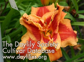 Daylily Photo - Legacy Of Style