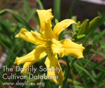 Daylily Photo - Lemon Chiffon Cupcake