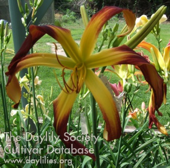Daylily Photo - Lillian's Earl Dodge