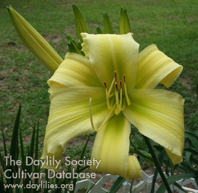 Daylily Photo - Lillian's Woman's Touch