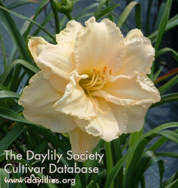 Daylily Photo - Land Of Cotton