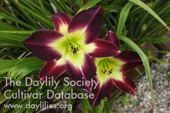 Daylily Photo - Laura Harwood