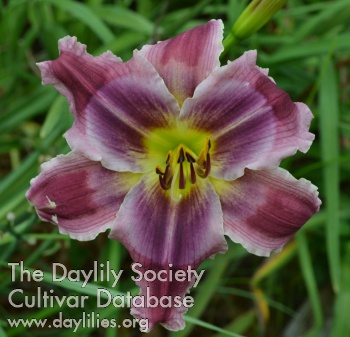 Daylily Photo - Lavender Zipline