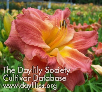 Daylily Photo - Legacy Of Life