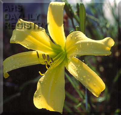 Daylily Photo - Lemon Madeline