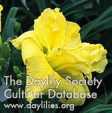 Daylily Photo - Lemonberry Truffle