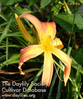 Daylily Photo - Let It Rip