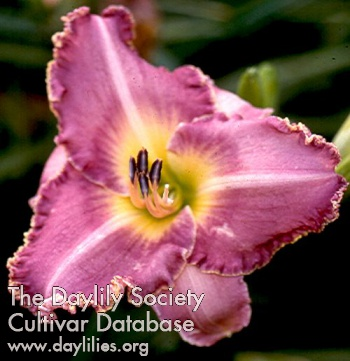 Daylily Photo - Let's Do Lunch
