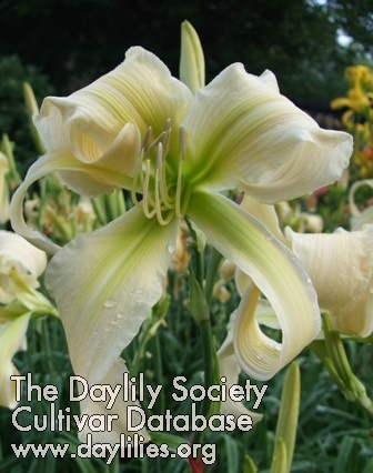 Daylily Photo - Lillian's White Lies