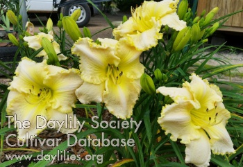 Daylily Photo - Lily Farm Lemon Cloud