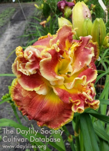 Daylily Photo - Lily Farm Nod to the Mentor