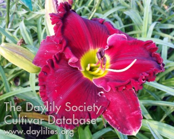 Daylily Photo - Lily Farm Roman Chariot