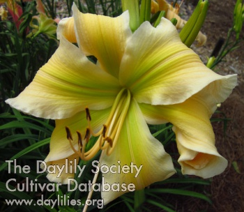 Daylily Photo - Lily's Golden Curls