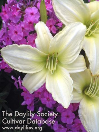 Daylily Photo - Lime Frost