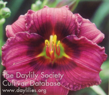 Daylily Photo - Little Dreamer