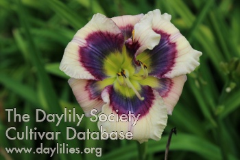 Daylily Photo - Little Miss Independent