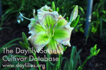 Daylily Photo - Little Mucha Minto