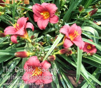 Daylily Photo - Little Red Dumples
