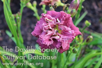 Daylily Photo - Little Sweet Cheeks