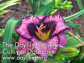 Daylily Photo - Little Giggles
