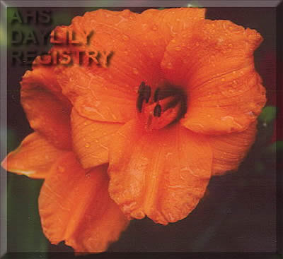 Daylily Photo - Little Gold Nugget