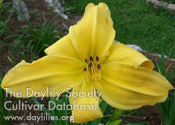 Daylily Photo - Look Here Mary