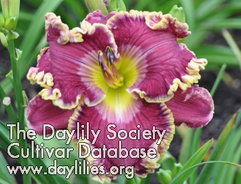Daylily Photo - Love Struck