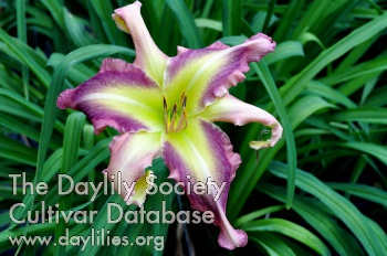 Daylily Photo - Lady Dragon