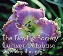Daylily Photo - Lavender Heartthrob