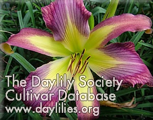 Daylily Photo - Ledgewood's Dragon fly