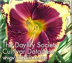 Daylily Photo - Ledgewood's Jumpstart