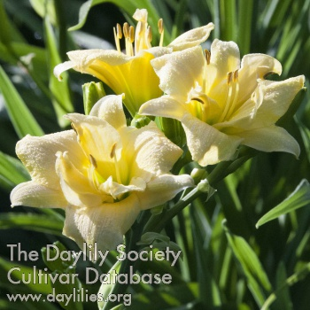 Daylily Photo - Lili Blume