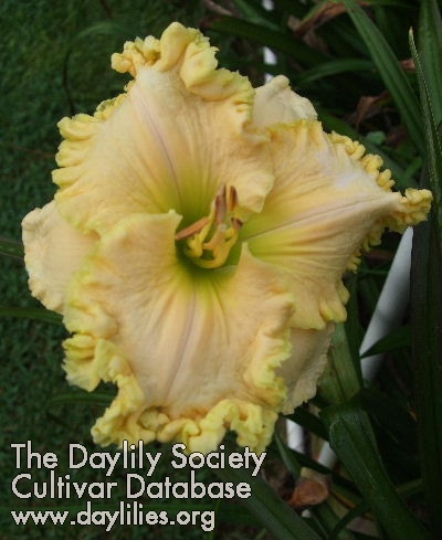 Daylily Photo - Lillian's Gurly Gurl