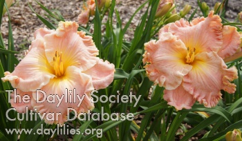 Daylily Photo - Lily Farm Cotton Candy