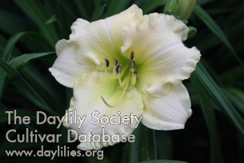 Daylily Photo - Luci d'Argento