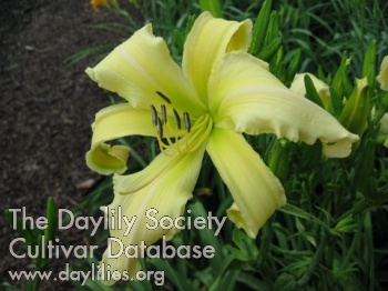 Daylily Photo - Lemon Curls