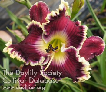 Daylily Photo - Master of Sparks