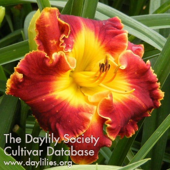 Daylily Photo - Madly Red
