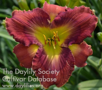 Daylily Photo - Mahogany Crystal